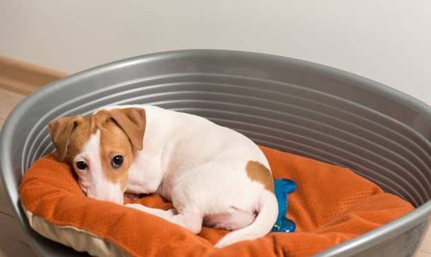 jack-russell-terrier-lying-dog-bed