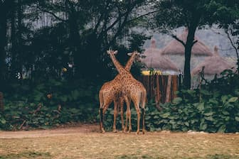 Giraffe Zoo Captions